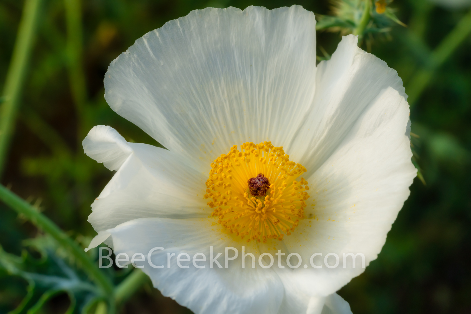 Texas Prickly Poppy 2 - We love the wildflowers in Texas even our prickly poppies.  Prickly poppies grow quite well in the Texas...