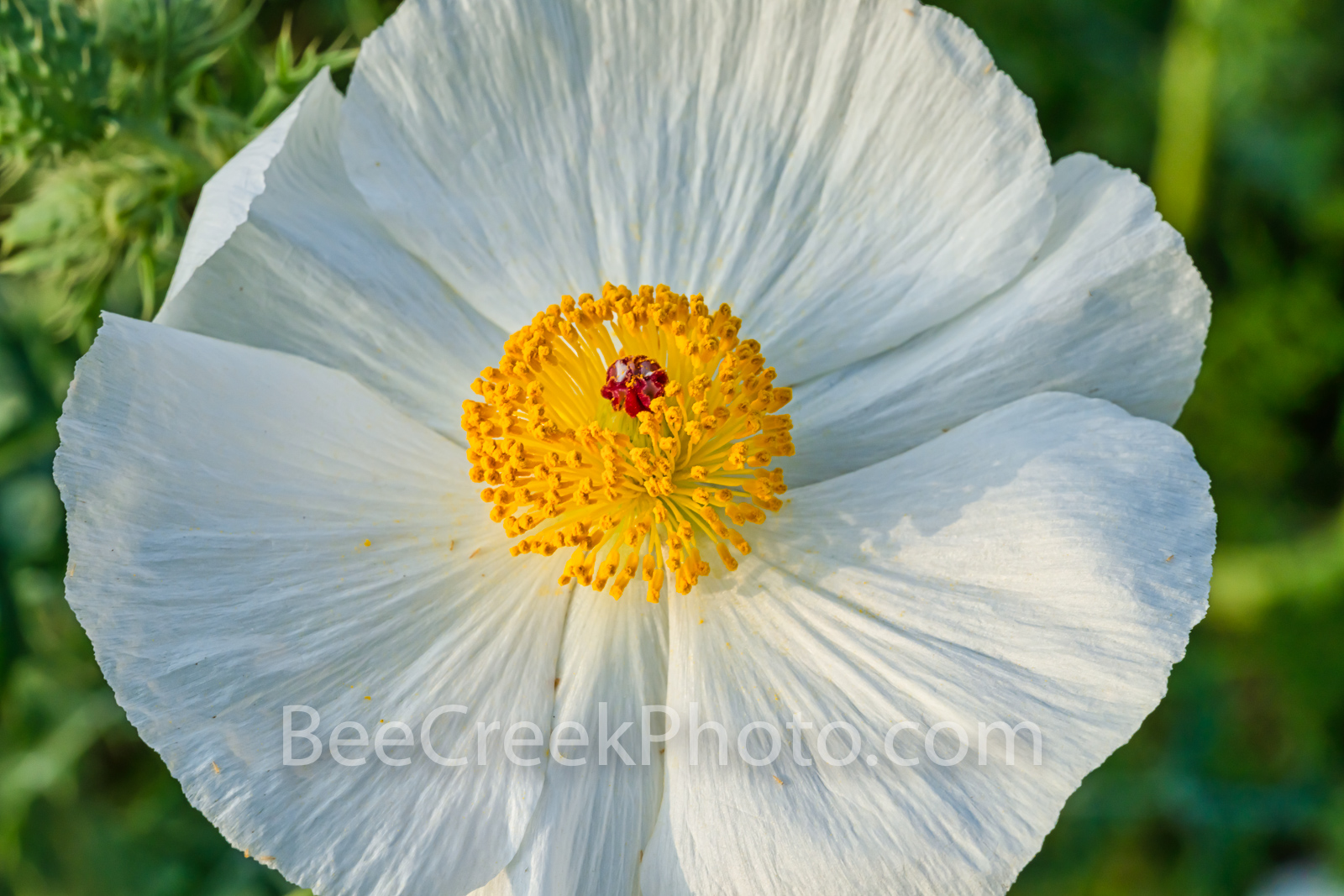 Texas Prickly Poppy - We love the wildflowers in Texas even our prickly poppies.  Prickly poppies grow quite well in the Texas...