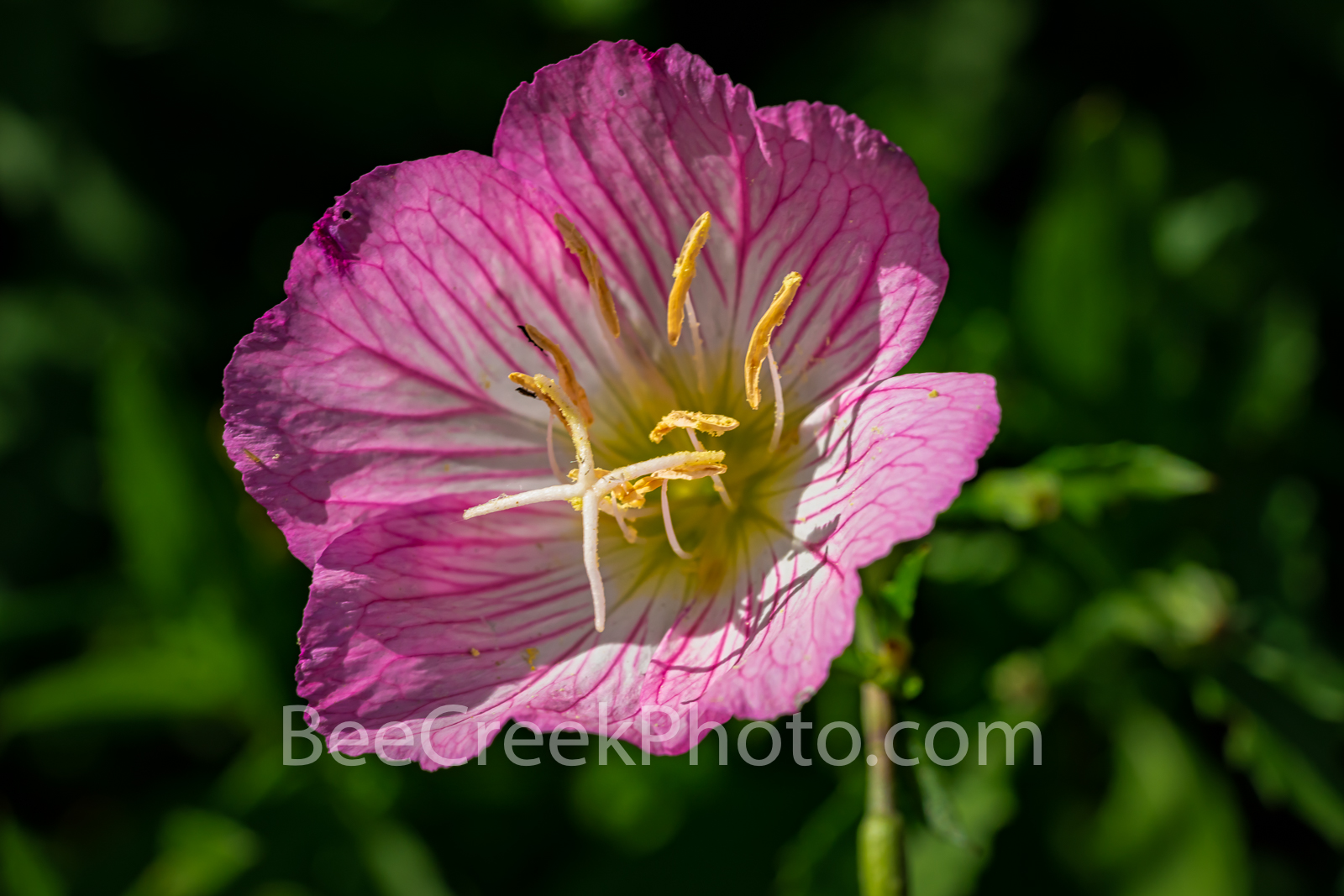 Texas Primrose Wildflower - We captured this primrose as a macro so we could see the details of the wonderful pink flower with...