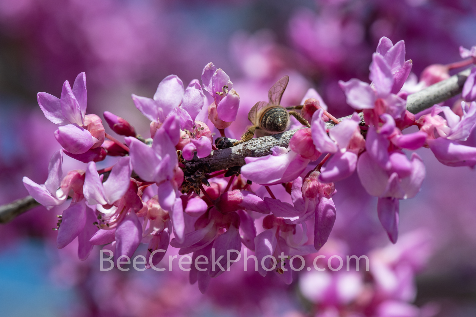 Texas Redbud Close Up - We capture this wonderful redbud macro showing these colorful clusters of pink flowers of this tree....