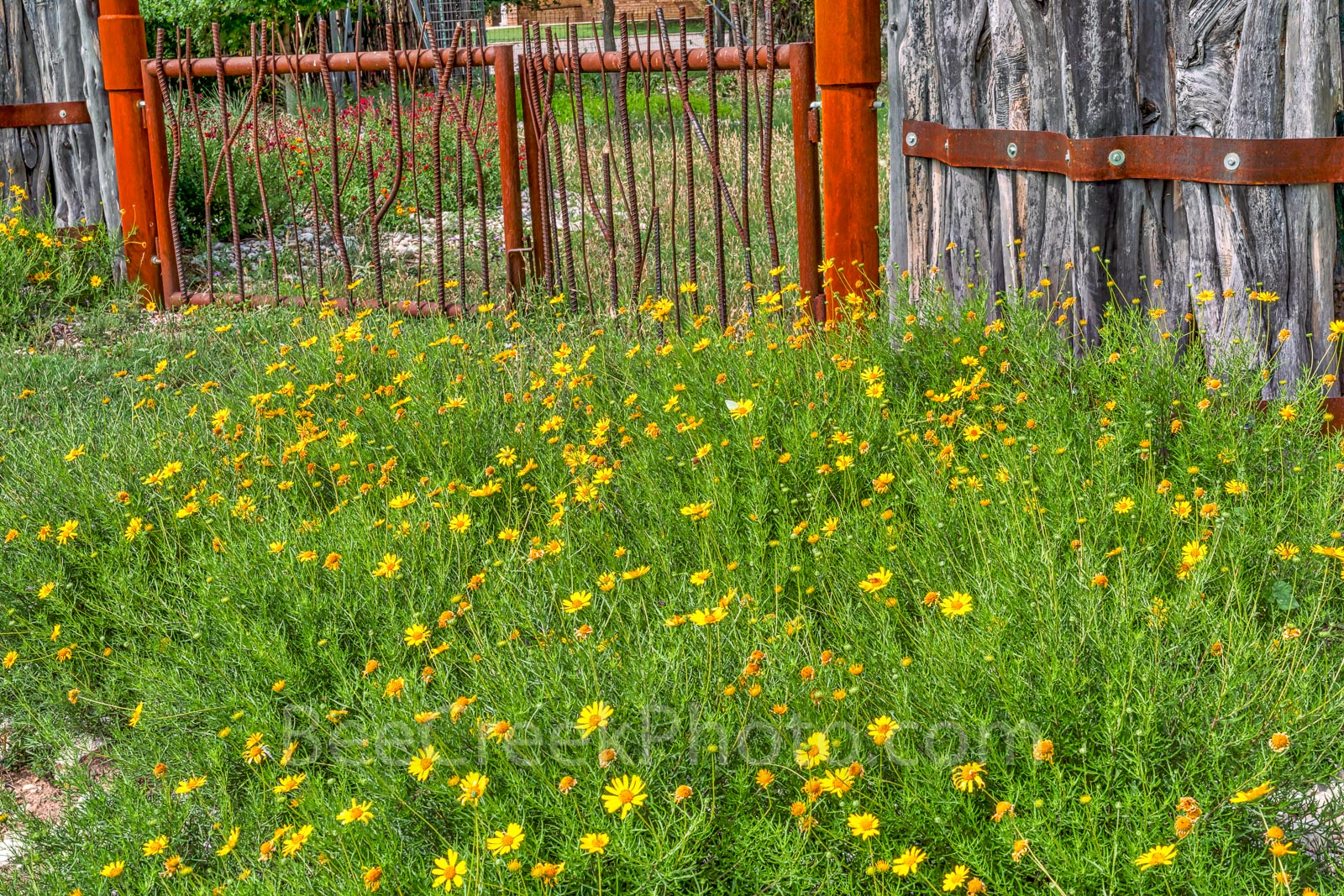 Texas Scenery, Spring, wildflowers, flowers, Texas scene, wrought iron gate, cedar fence, back roads, damiantia wildflowers, spring scenery,  yellow flowers, , photo
