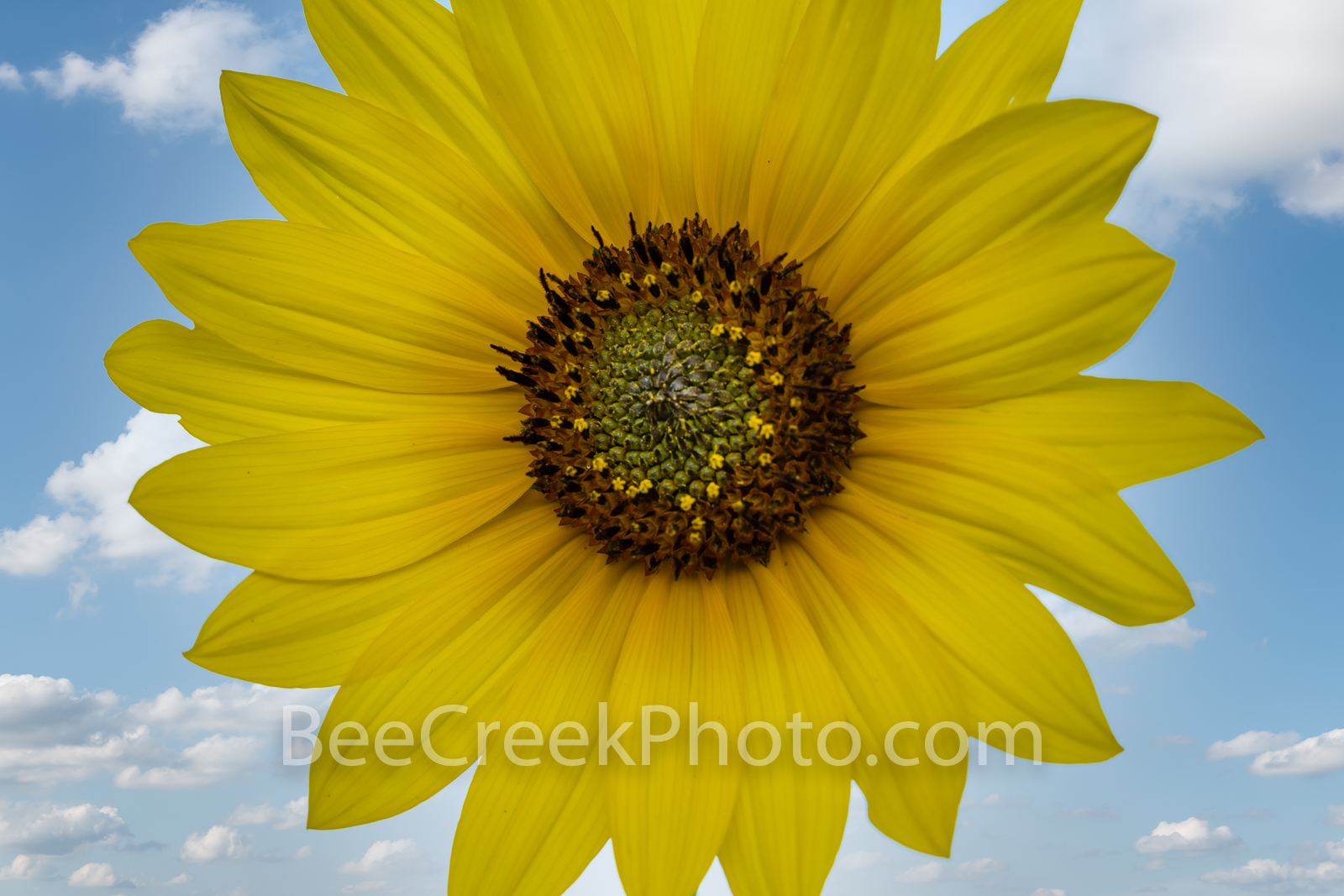 Texas Sunflower  - We captured this sunflower in a close up views where the details of the plant can be seen clearly.  We love...