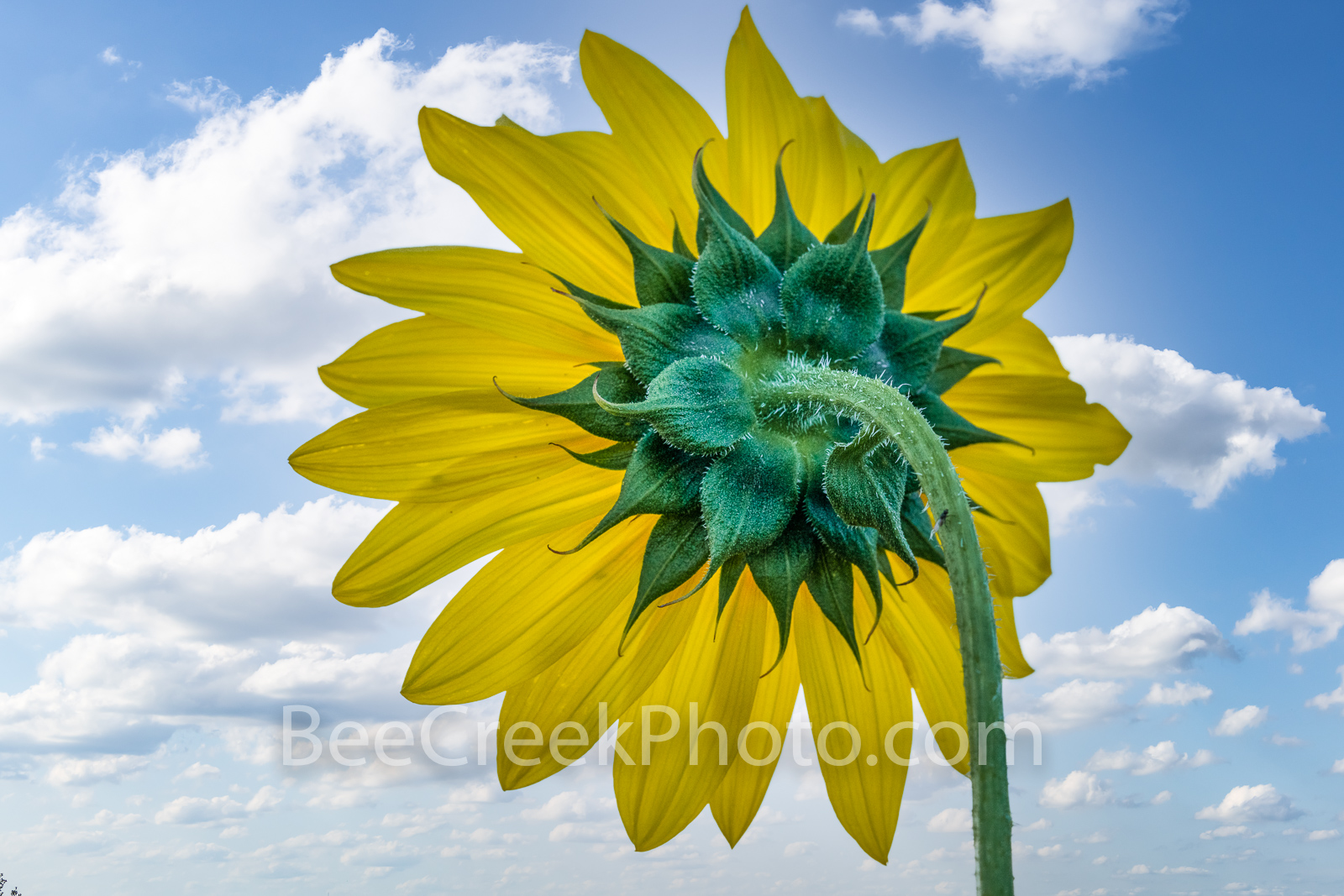 Texas Sunflower with Sky Macro - We were driving through the Texas hill country near Fredricksburg when we spotted this small...