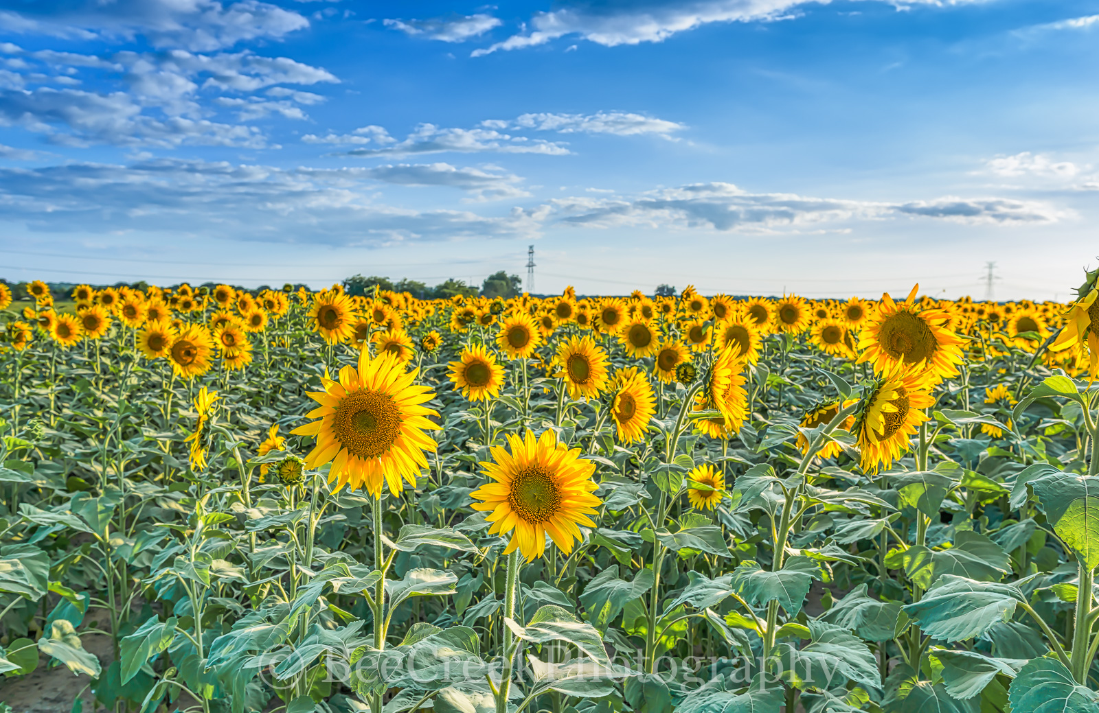Sunflowers, fields, blue sky, clouds, leafs , tall stalks, back lit, blue sky, sun, flora, pedals, yellow, giant sunflowes, landscapes, , photo