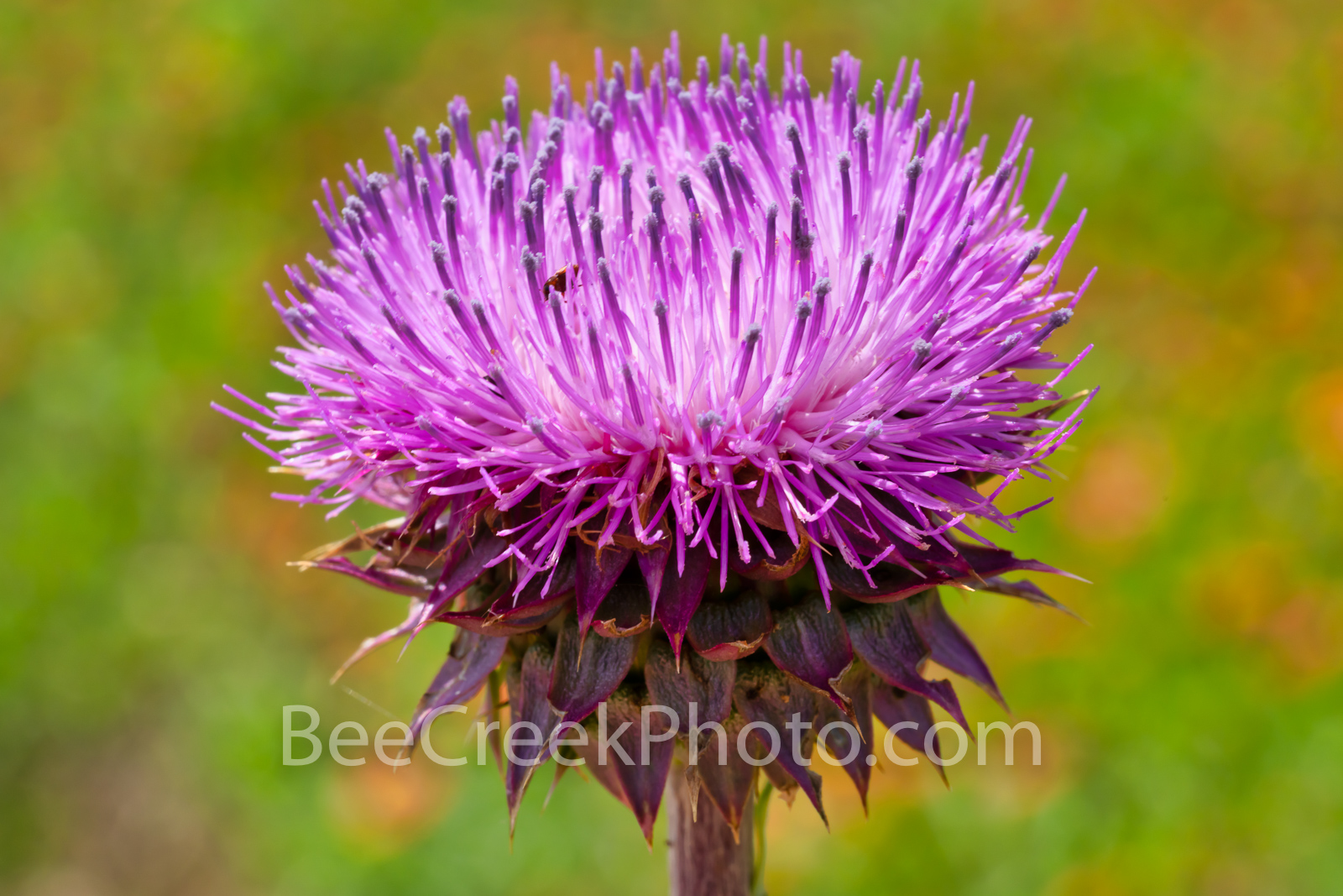 Texas Thistle - Some call these weeds but they are wonderful bee and butterfly food so I call them food. The thistle grows as...