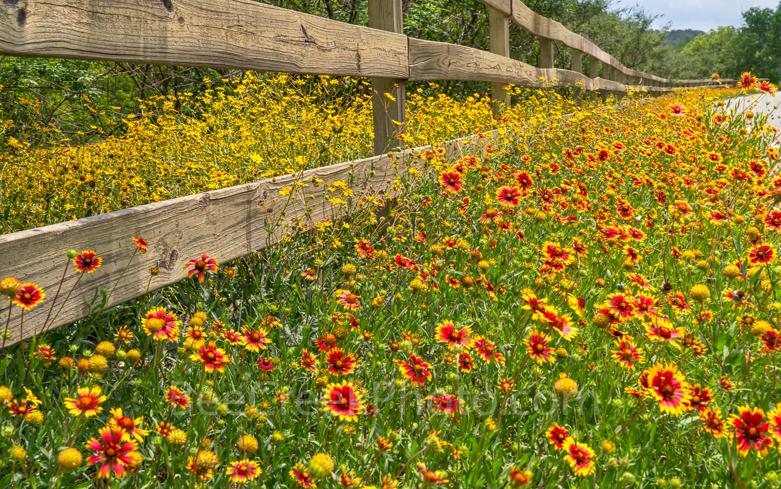 Texas, wildflowers, fence, indian blanket, firewheels, yellow, red, Damianta, Texas Hill country, back roads, summer, colorful, wooden fence, spring, yellow wildflowers, landscape, texas wildflower, , photo