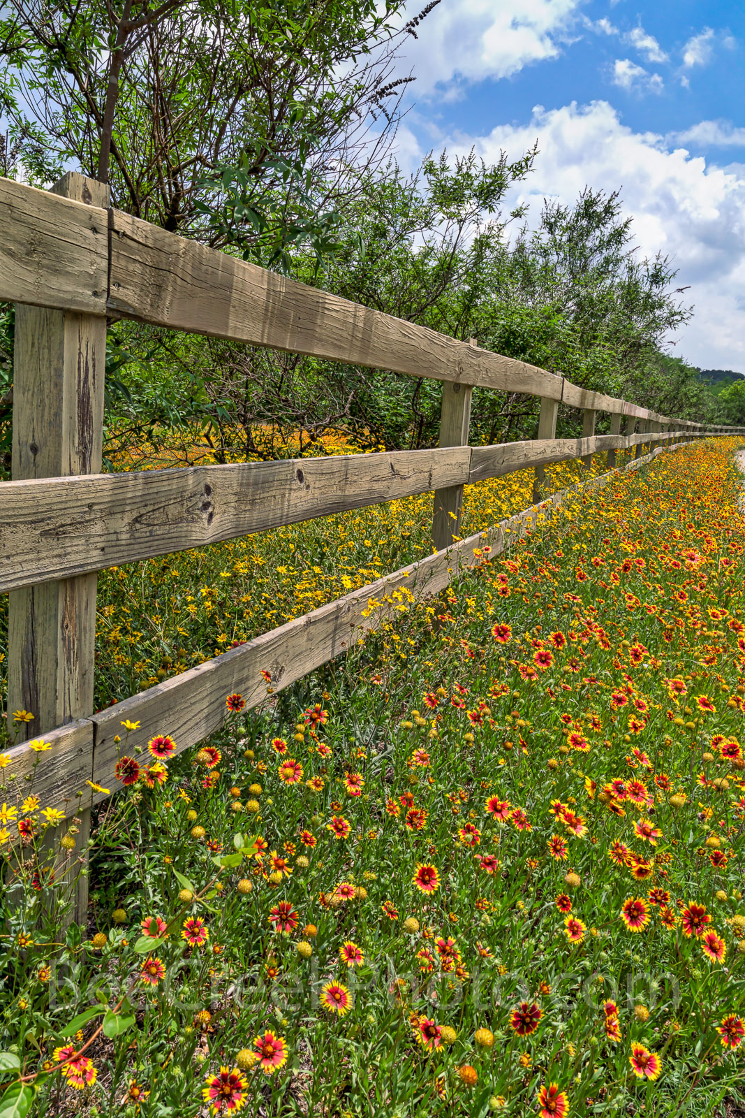 Texas, wildflowers, fence, indian blanket, firewheels, yellow, red, Damianta, Texas Hill country, back roads, summer, colorful, wooden fence, yellow flowers, spring, , photo