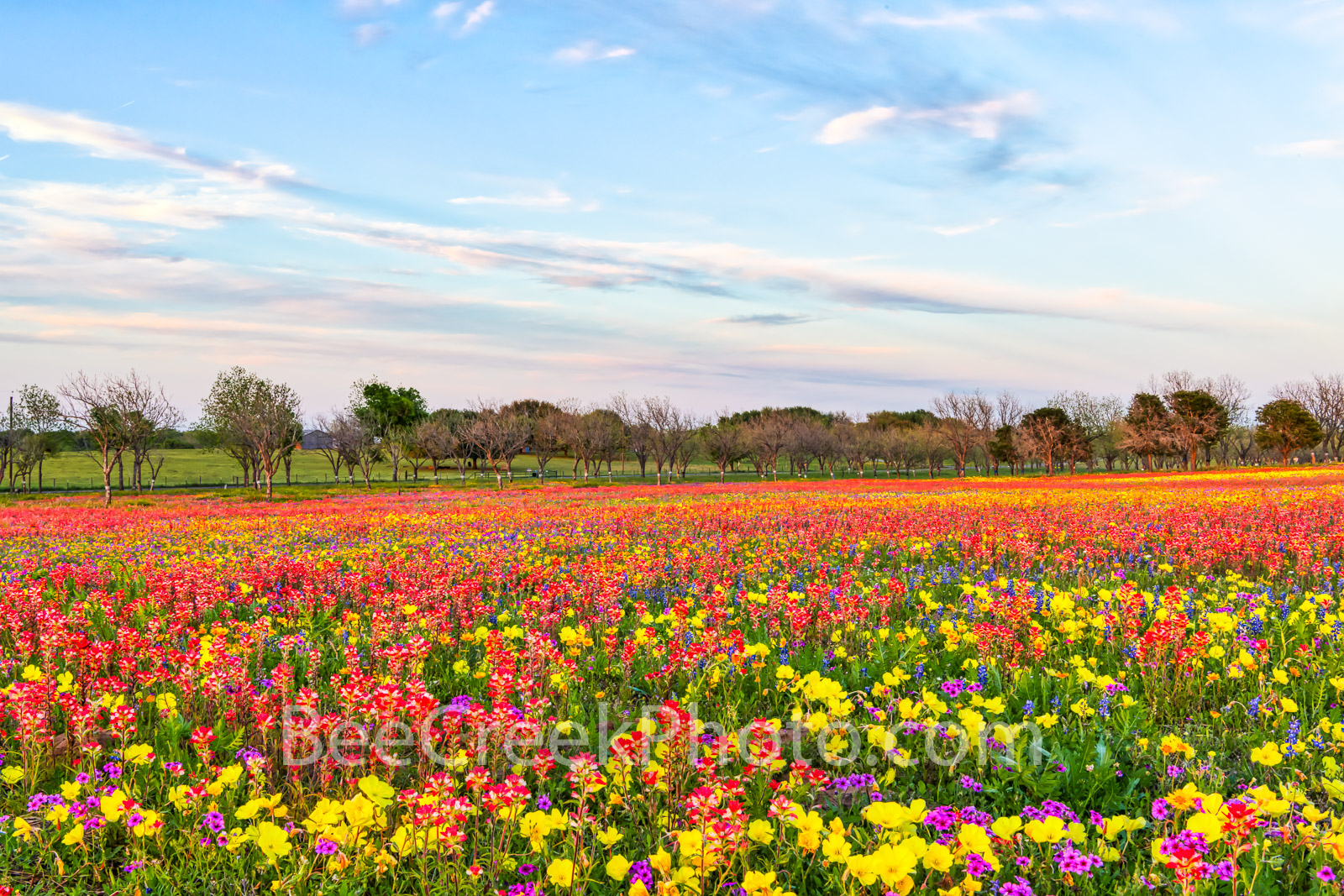wildflowers, texas wildflowers, bluebonnets, indian paintbrush, yellow daisys, phlox, texas, central texas, south texas, floral, flowers, plants, colorful, wildflowers, backroads, pano, panorama, vibr, photo