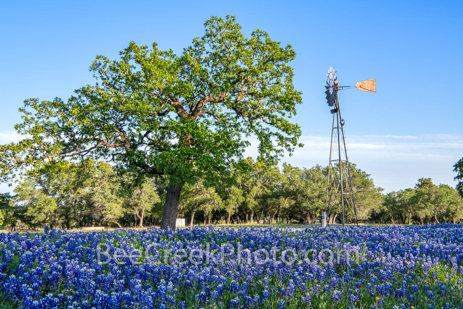 texas windmill, bluebonnets, texas bluebonnets, texas wildflowers, blue bonnets, texas scenery, texas landscape, windmills in texas, texas wildflower landscape, texas hill country, hill country, lupin, Texas Windmill and Bluebonnets
