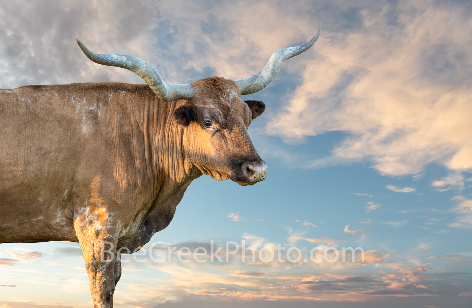 The Texas Longhorn - This longhorn  was out in the Texas hill country on a elevated piece of the property so were able to capture...