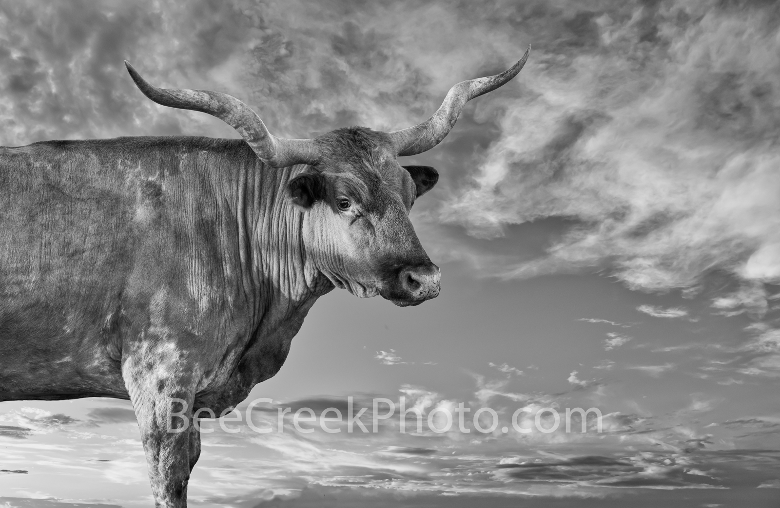 The Texas Longhorn BW - This longhorn was out in the Texas hill country on a elevated piece of the property so were able to capture...