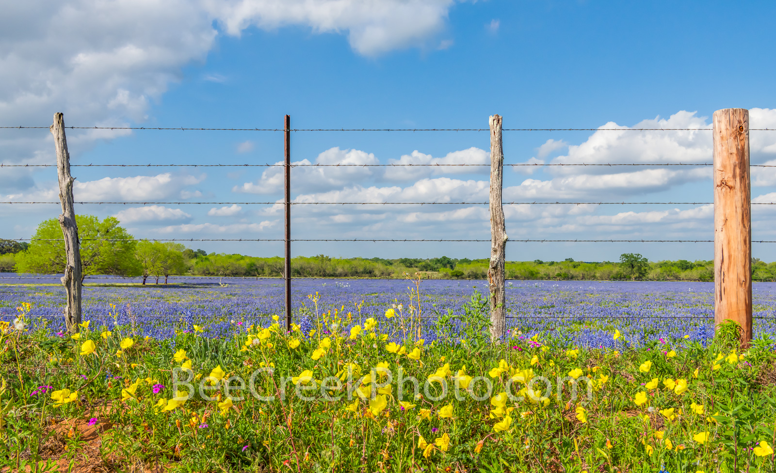 Wildflowers, barbwire, fence, post, bluebonnets, yellow, buttercup, texas wildflowers, texas scenery, texas wildflowers, iconic texas, images of texas, pictures of texas, pictures of bluebonnets, pict, photo