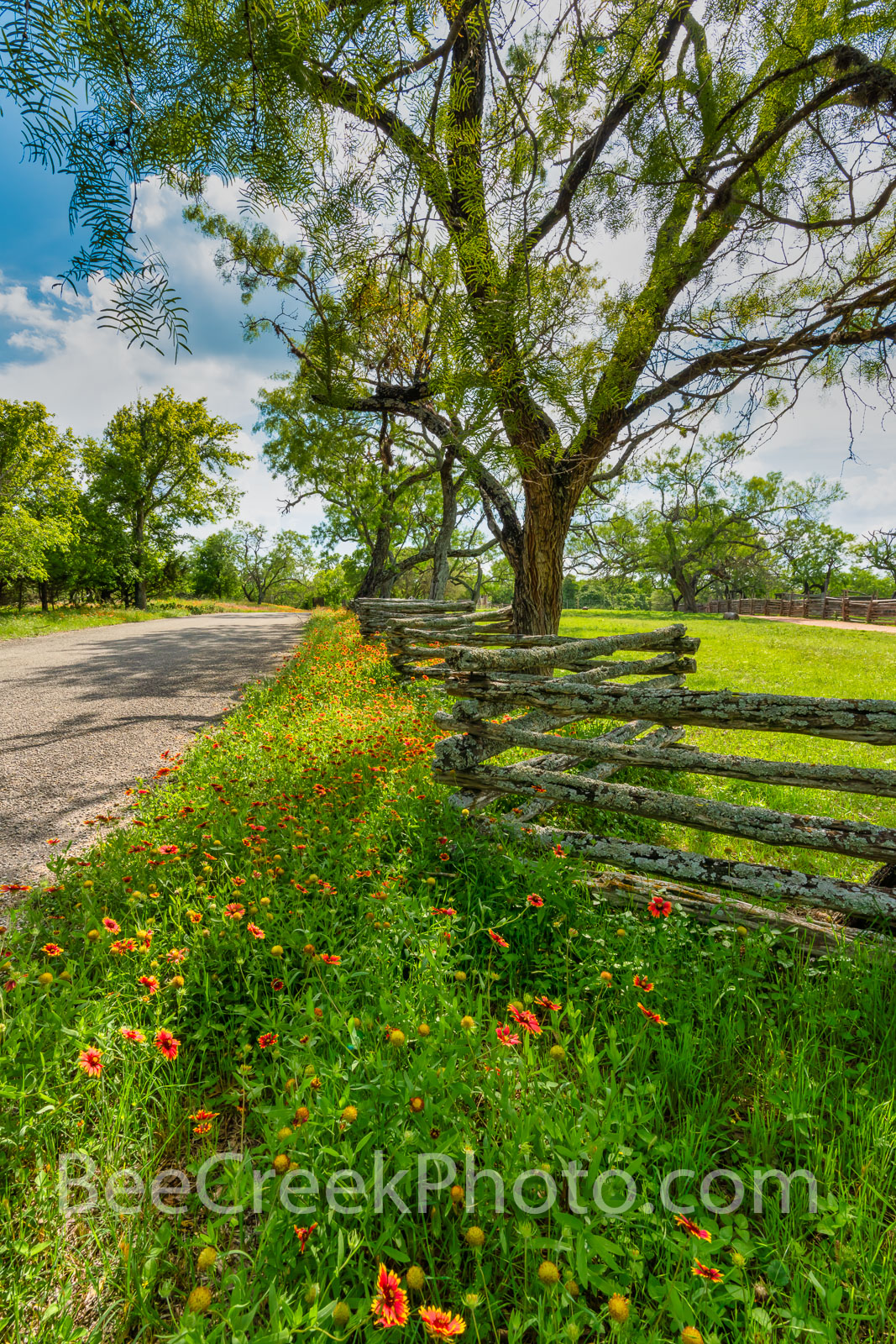 Wildflowers at the Fence Vertical - Firewheel wildflowers line this rustic wood fence along this road in the Texas hill country...