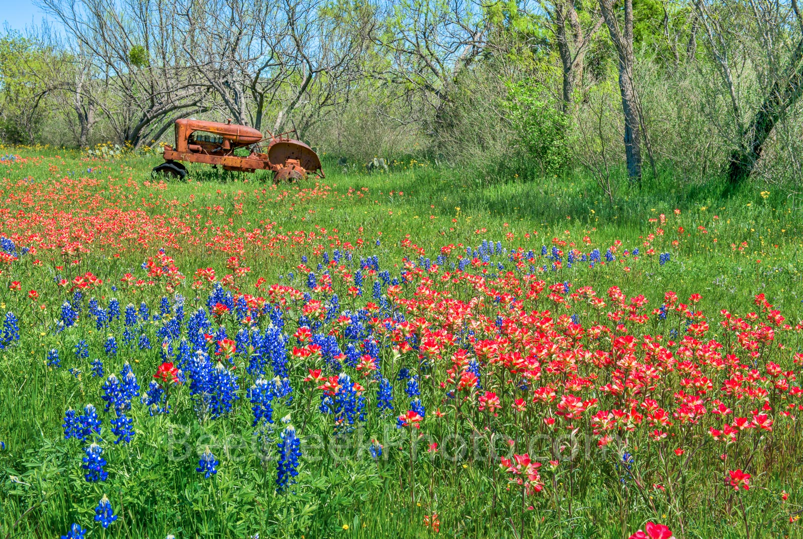 Wildflowers, bluebonnets, bluebonnet, indian paintbrush, flower, pasture, tractor, rusty, farm equipement, red, blue, colorful, Texas Hill Country, images of texas, spring, Texas wildflowers, spring f