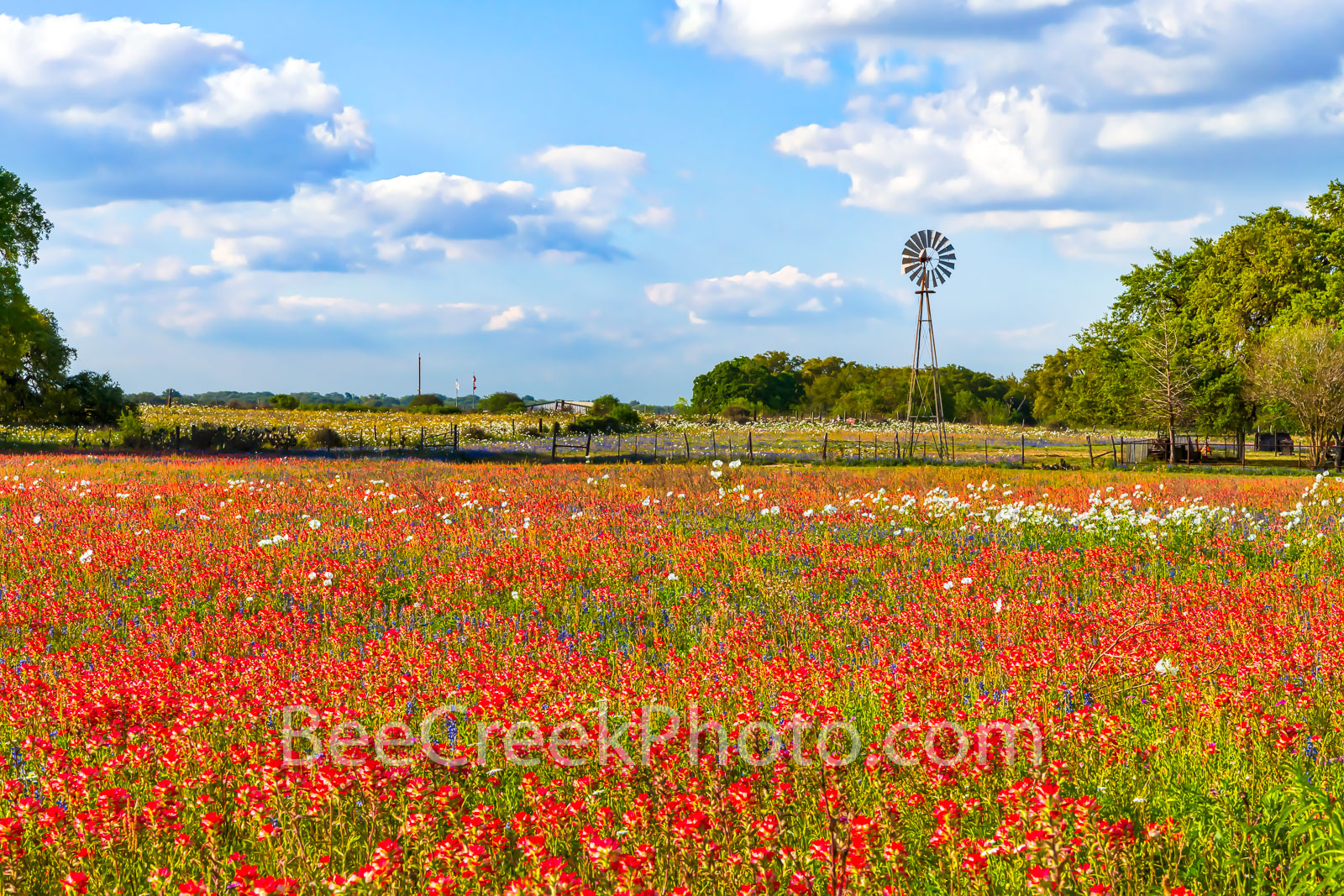 Windmill and Indian Paintbrush - A Texas windmill with a field of red indian paintbrush and some white poppies mix in for a great...