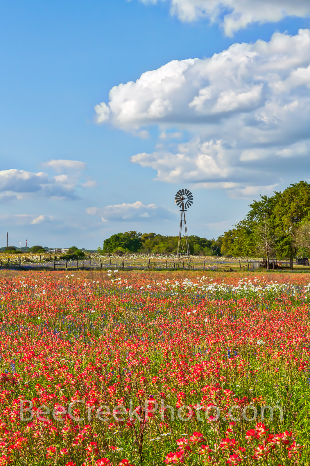 Windmill and Wildflowers Vertical - A Texas windmill with a field of red indian paintbrush and some white poppies mix in for...