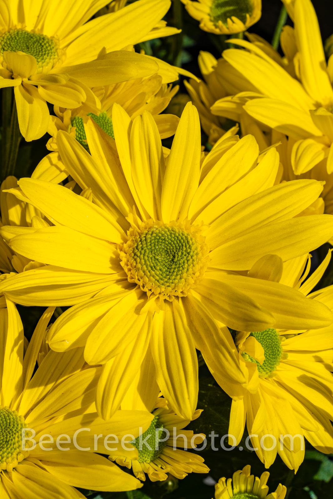Yellow Daisies Vertical - I believe these are a yellow daises which we capture in a large group.  They are a beautiful flower...